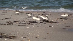 Sanderling Flock Feeding Winter Stock Footage