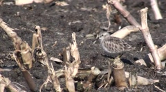 Least Sandpiper Lone Feeding Winter Stock Footage
