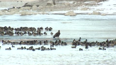 Bald Eagle Immature Lone Resting Winter Waterfowl Ice - stock footage