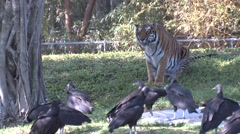 Tiger Lone Attacking Winter - stock footage
