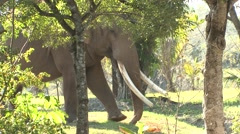 African Elephant Winter Tusk - stock footage