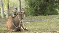 Giant Eland Male Winter Stock Footage