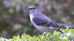 Northern Mockingbird Winter Stock Footage