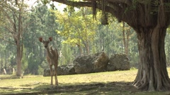 Greater Kudu Female Winter - stock footage