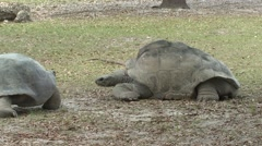Giant Tortoise Pair Winter Stock Footage