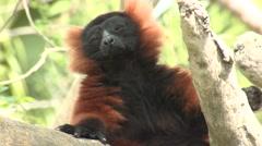 Red-ruffed Lemur Winter Stock Footage