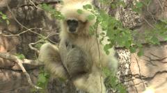 White-handed Gibbon Winter Lar Gibbon Stock Footage