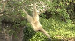 White-handed Gibbon Winter Lar Gibbon - stock footage