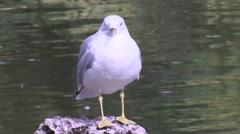 Ring-billed Gull Lone Winter Stock Footage