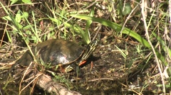 Painted Turtle Winter Stock Footage