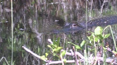 Alligator Adult Lone Swimming Winter - stock footage