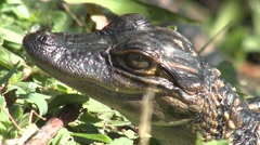 Alligator Young Lone Winter Closeup - stock footage