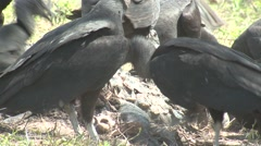 Black-headed Vulture Many Feeding Winter Carrion Stock Footage