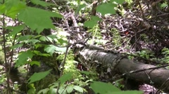 Grouse Navigating on Forest Floor Stock Footage
