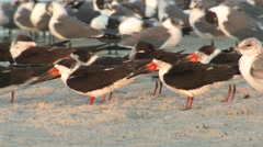 Black Skimmer Adult School Resting Winter Dawn Beach Stock Footage