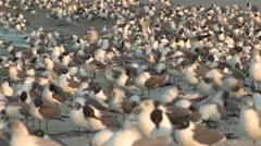 Laughing Gull Flock Winter Dawn Beach Stock Footage