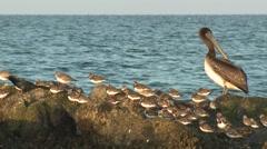 Ruddy Turnstone Flock Winter Ocean Stock Footage