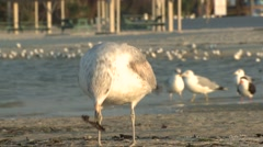 Ring-billed Gull Winter Beach Ground Level - stock footage