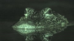Alligator Lone Winter Night Infrared Stock Footage