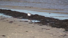 Piping Plover Lone Winter - stock footage