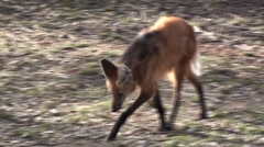 Maned Wolf Lone Walking Winter Stock Footage