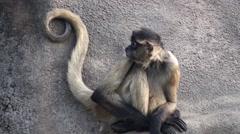 Spider Monkey Winter Stock Footage