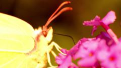 Common Brimstone Butterfly Feeding on a Pink Butterfly Bush Stock Footage