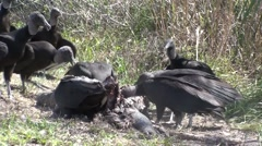 Black-headed Vulture Flock Feeding Winter Carrion Stock Footage