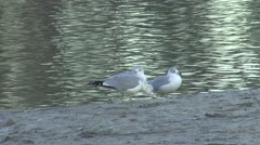 Ring-billed Gull Several Winter - stock footage