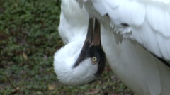 Whooping Crane Adult Grooming Winter Closeup Stock Footage