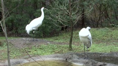 Whooping Crane Male Female Adult Pair Winter Stock Footage
