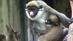 Guenon Adult Young Winter Stock Footage