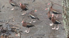 Black-bellied Whistling Duck Several Winter Rain Stock Footage