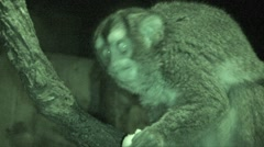 Dourouicoulis Feeding Winter Night Night Monkey Infrared Stock Footage
