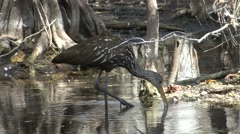 Limpkin Lone Feeding Winter Stock Footage