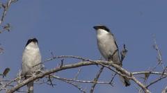 Loggerhead Shrike Pair Winter - stock footage