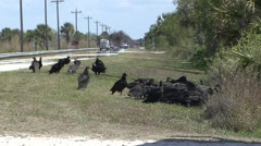 Black-headed Vulture Many Feeding Winter Road Kill Carrion Stock Footage