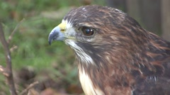 Red-tailed Hawk Winter Closeup Stock Footage