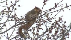 Fox Squirrel Lone Feeding Winter Stock Footage