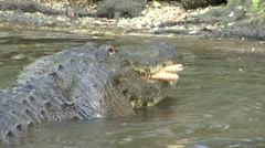 Alligator Feeding Winter - stock footage