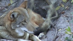 Red Wolf Lone Resting - stock footage