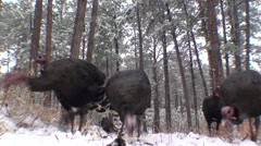 Turkey Flock Feeding Winter Ground Level Stock Footage
