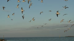 Laughing Gull Flock Flying Winter Slow Motion Stock Footage