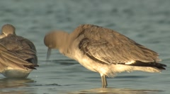 Willet Several Grooming Winter Slow Motion Stock Footage