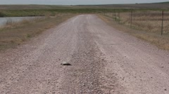 Painted Turtle Lone Urinating Summer Road Stock Footage