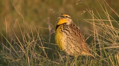 Western Meadowlark Male Lone Calling Summer Dawn Singing Stock Footage
