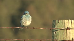 Mountain Bluebird Lone Summer Barb-wired Fence Stock Footage