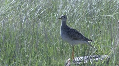 Upland Plover Lone Summer Stock Footage