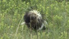 Striped Skunk Lone Feeding Summer - stock footage