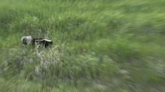 Striped Skunk Lone Running Summer - stock footage